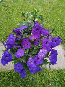Фиолетовая петуния2.jpg