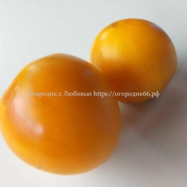 Гордость побережья оранжевый (Orange pride dwarf)