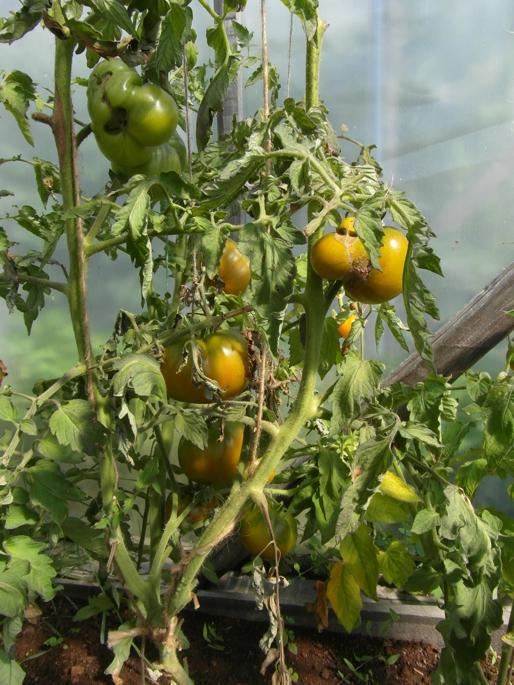 фото томатов после холодов воды душевой