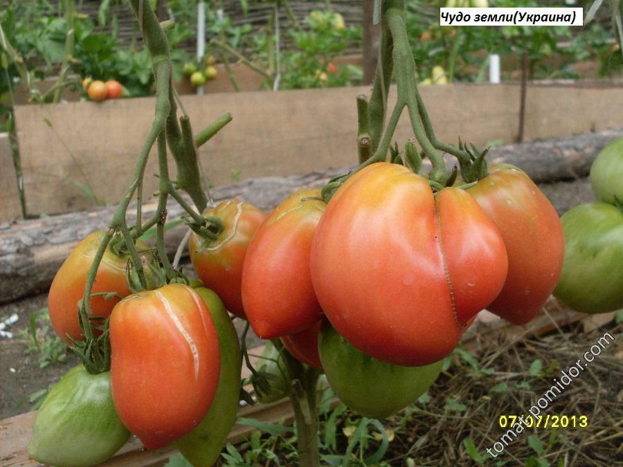 томат чудо земли украинское