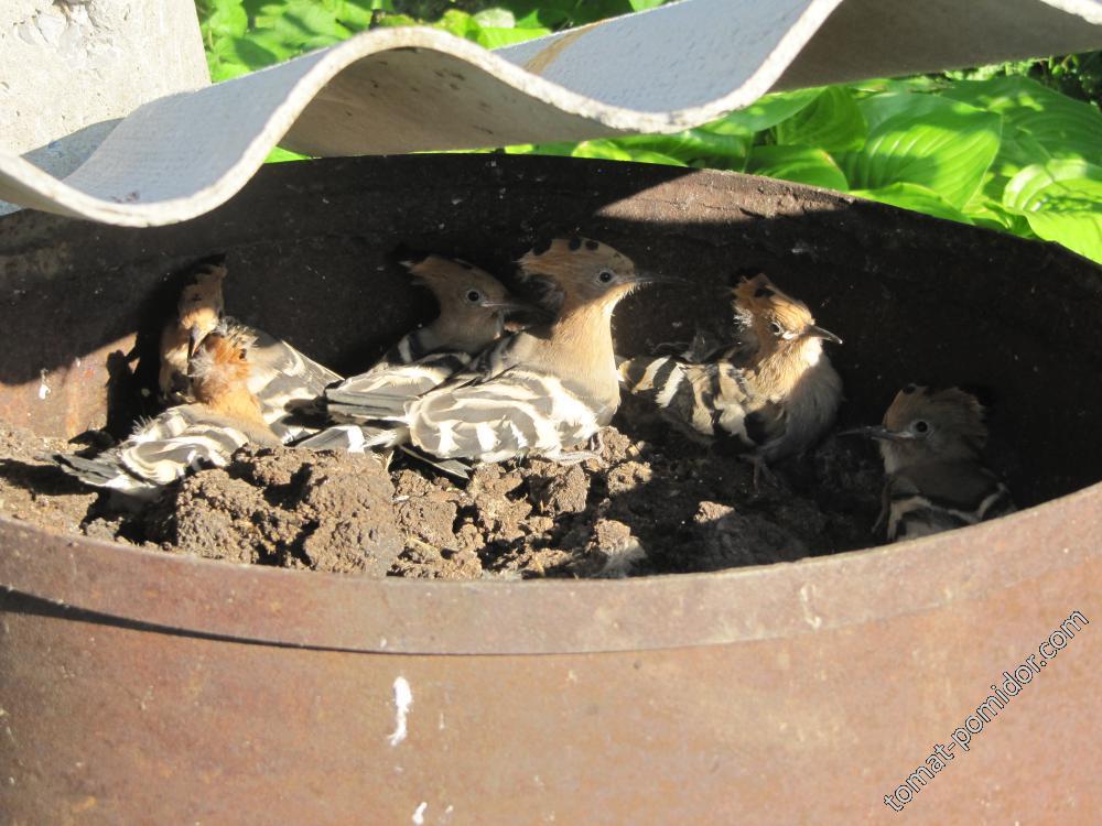 гнездо удода