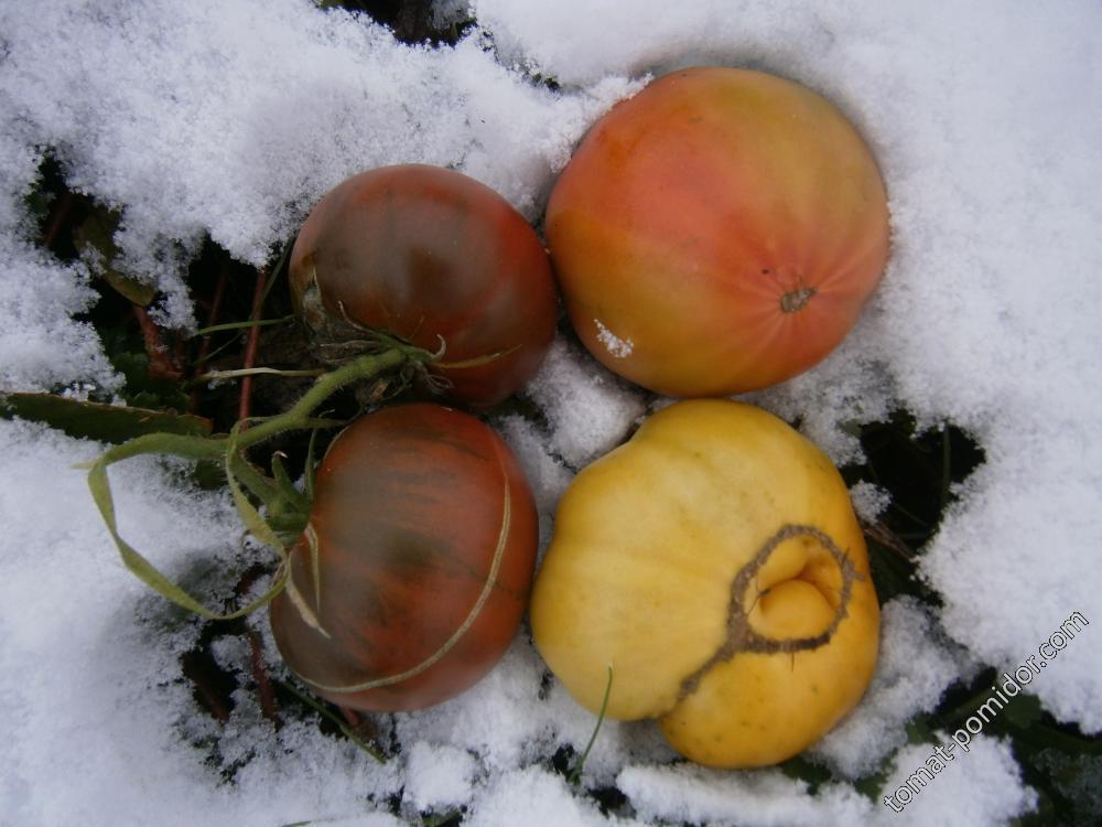 Зимние помидоры