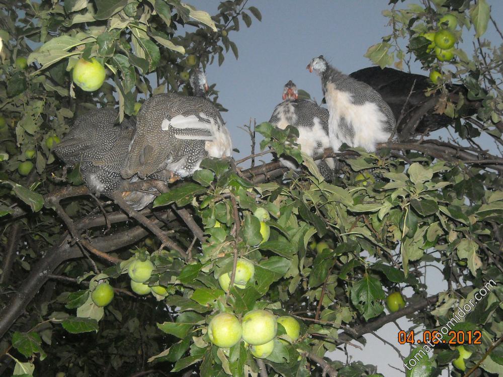 Цесарки на дереве