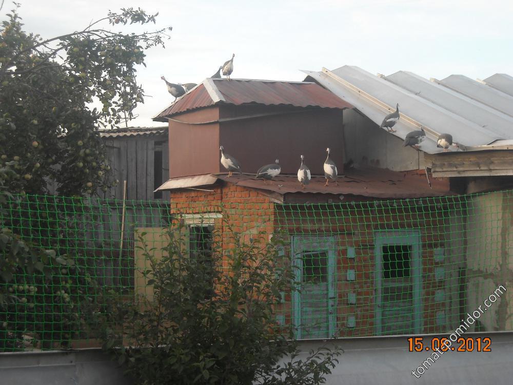 Цесарки на крыше