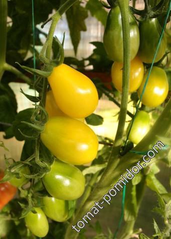 Beem's Yellow Pear (Жёлтая груша Бима)