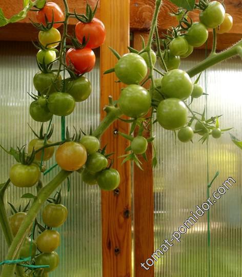 Gardeneros Delight (Восторг Садовода)