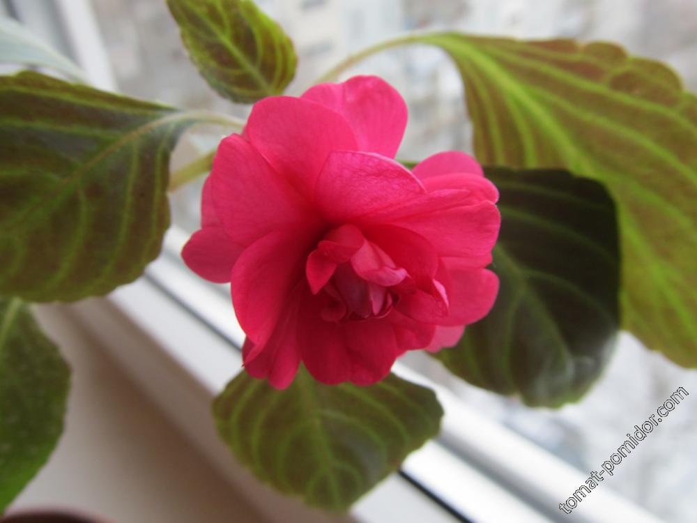 Бальзамин розово-малиновый