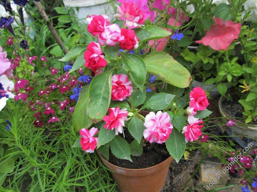 Бальзамин цветет