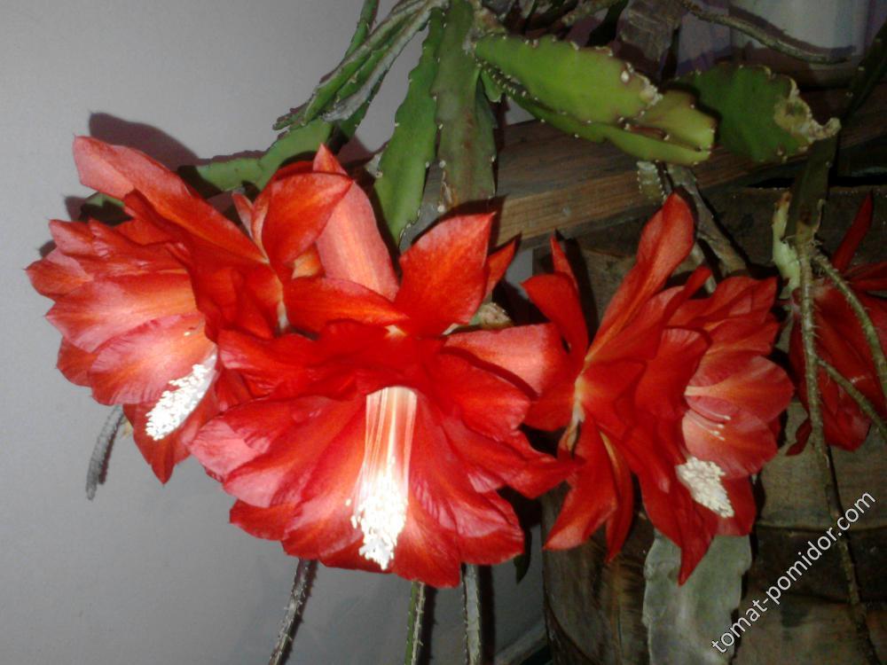Эпифиллум цветёт