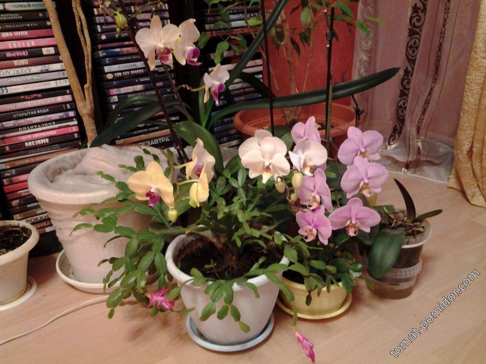 сердце замирает-орхидеи!
