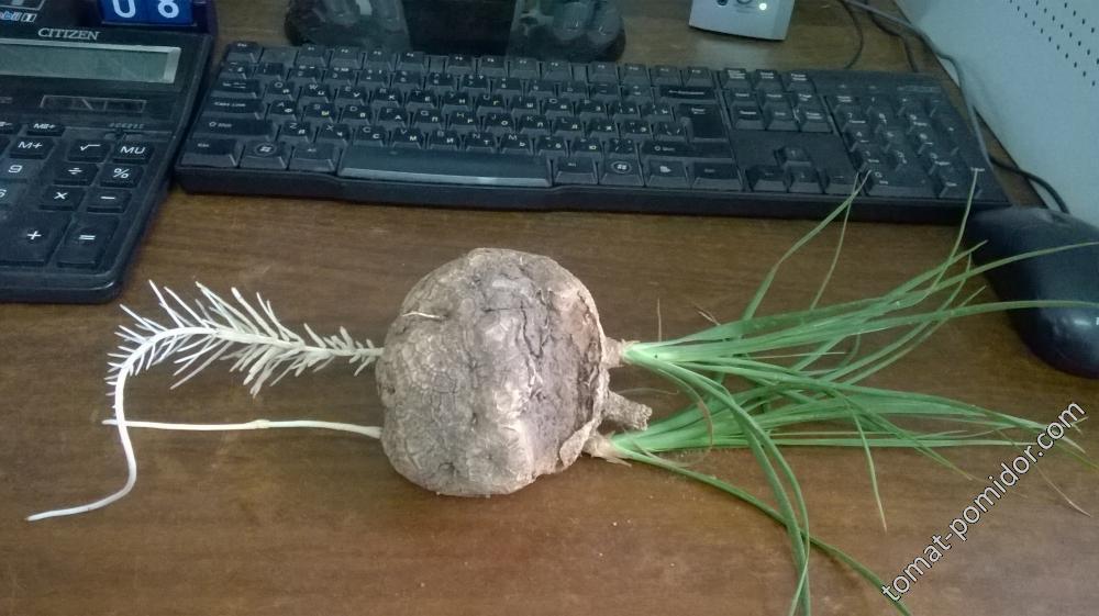 Каудексное растение от Тани Камо