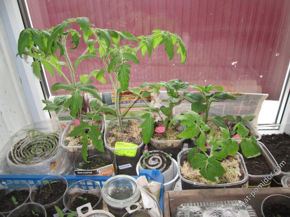 помидорки на ранний урожай