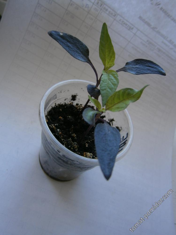 Перец острый Filius Blue