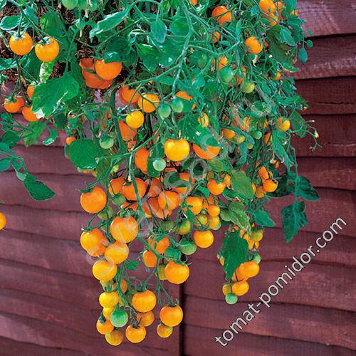 Ампельный томат