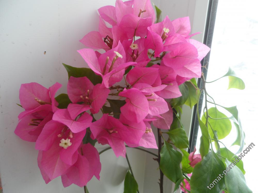 Буггенвилия цветет