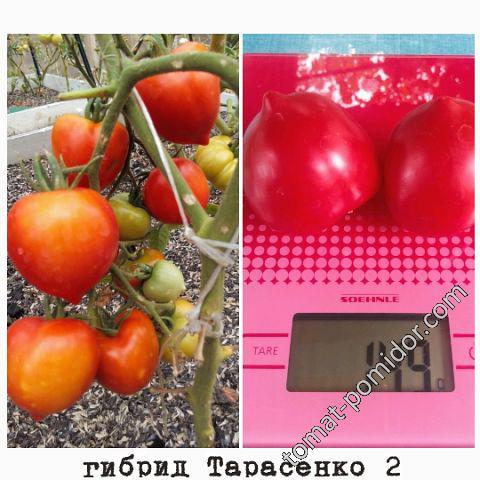 гибрид тарасенко 2