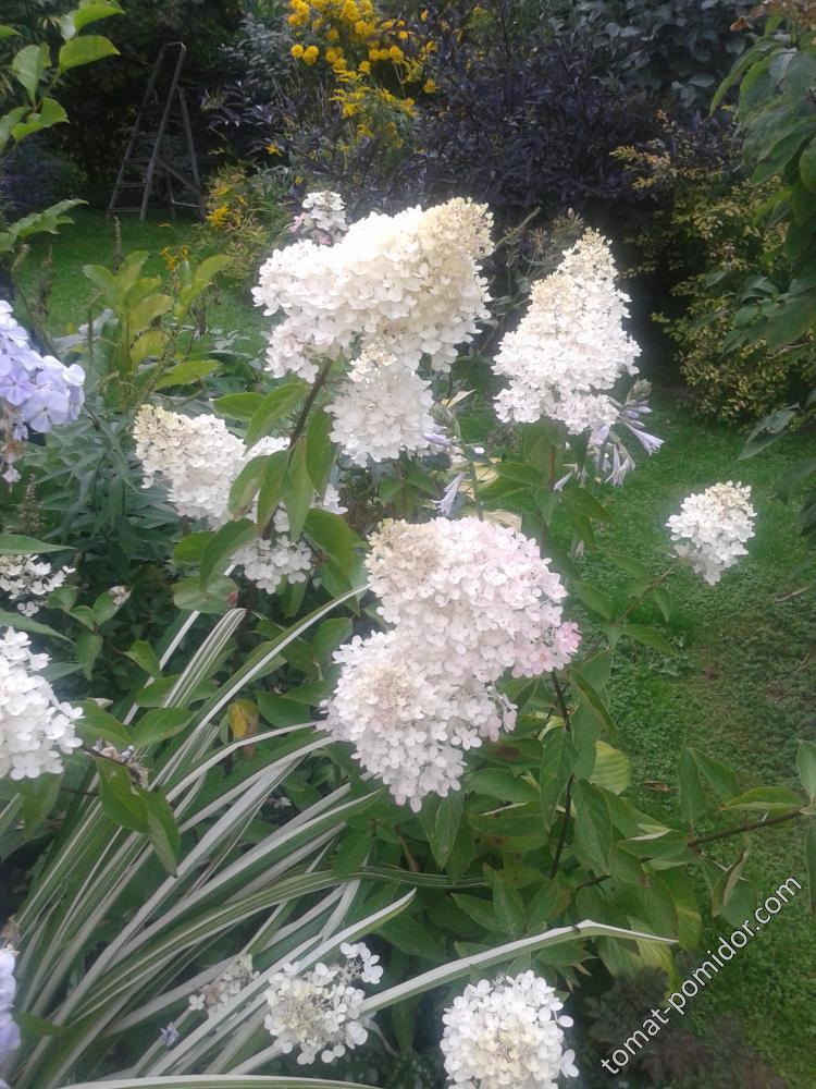 гортензия грандифлора летом