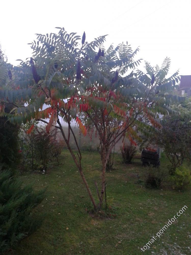 Сумах осенью