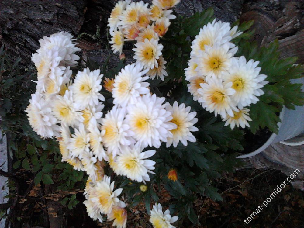 хризантема светлая