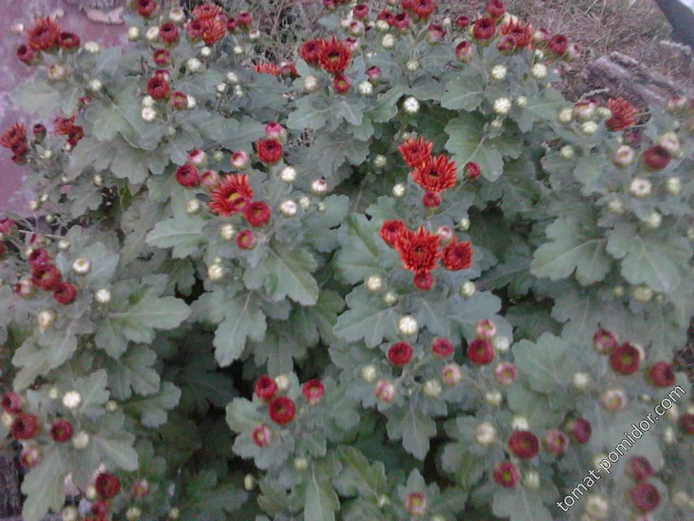 хризантема красно-оранжевая