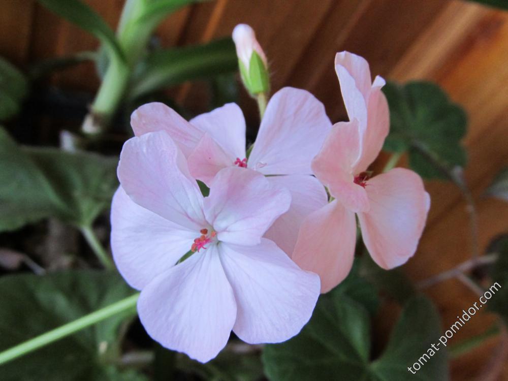 Зональная пеларгония розовая