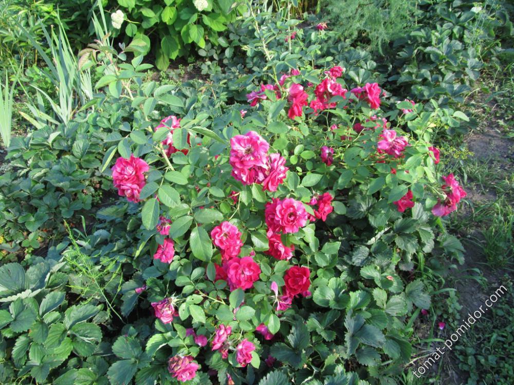 Розы и спаржа