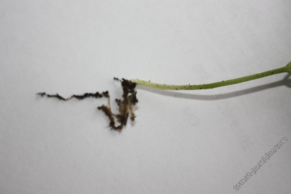 корневая погибшего перца
