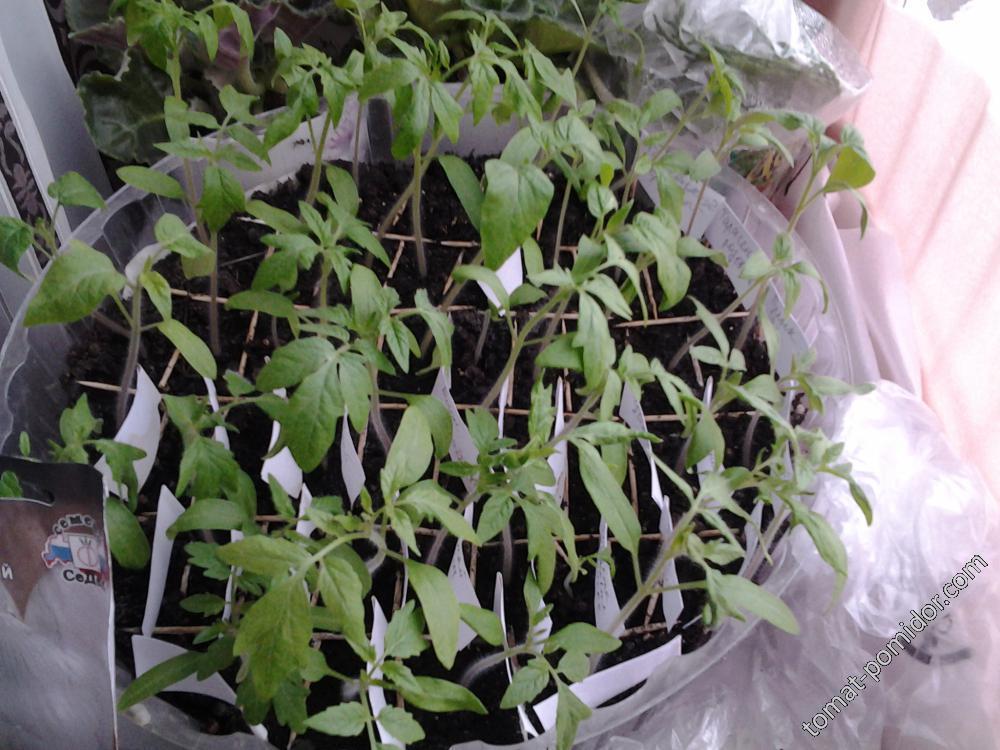 томаты индеты 13 марта
