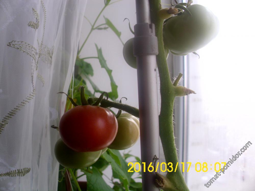 Первый томатик спеет