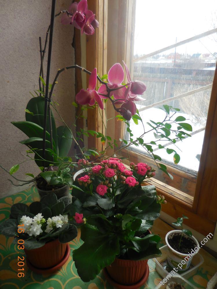 Орхидея, фиалка и каланхоэ