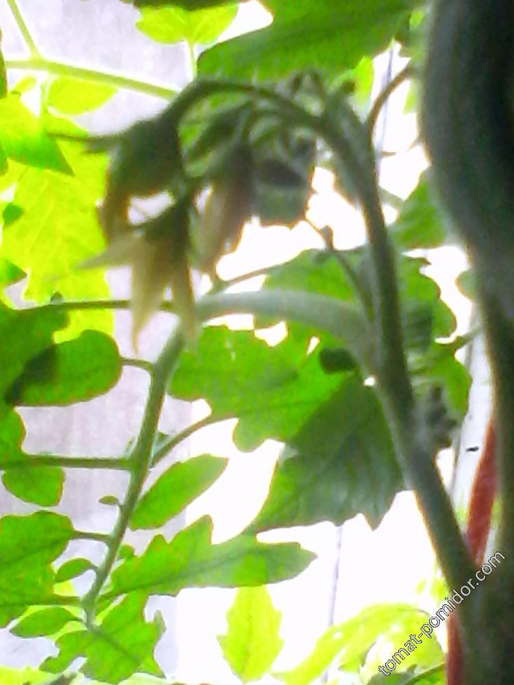 первый помидорчик ,завязь 29.03.2016