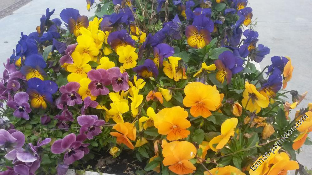зимний цветок - теменужка