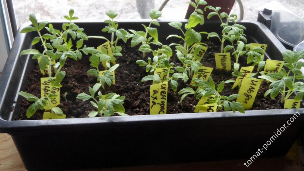 томаты 28 дней