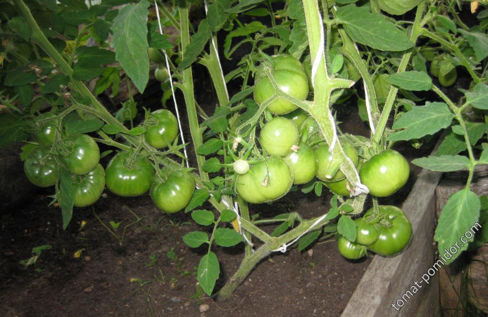 томат неизвестный