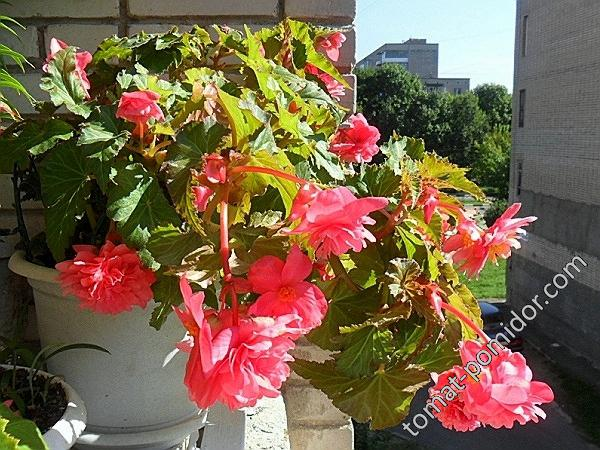 Клубневые бегонии Odorata Pink Delight