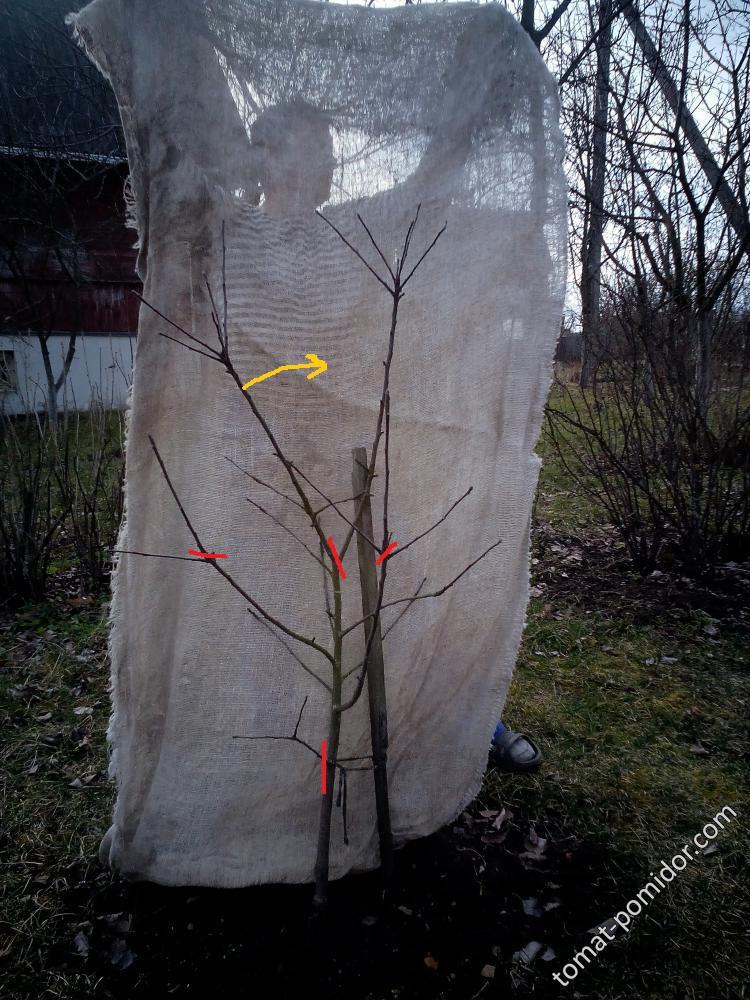 Яблоня для Ольчик-83