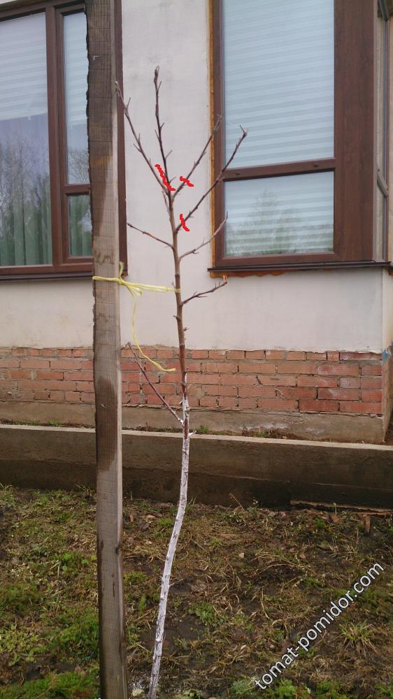 Яблоня Избранница для ASAVA