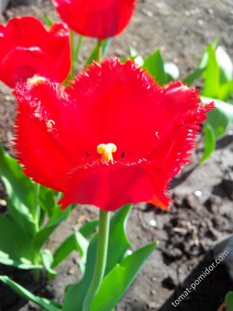 Тюльпан 17.04.16