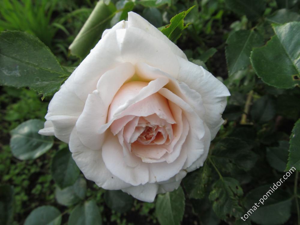 Первая роза