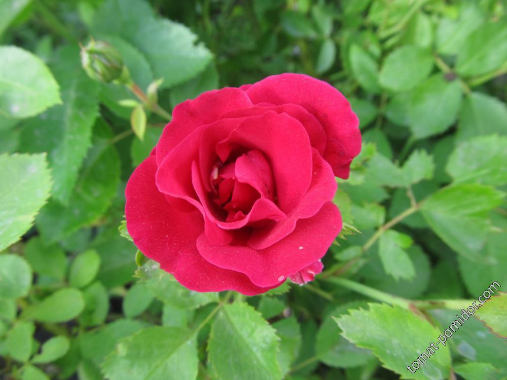 Вторая роза- плетистая