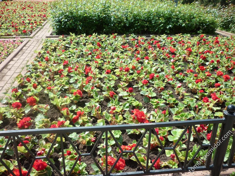 клумба с вечноцветущей бегонией в Александровском саду