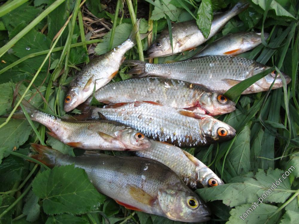 Наша рыбка как раз под пивко )