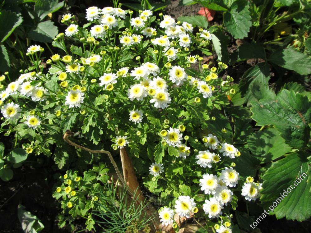 Хризантема девичья