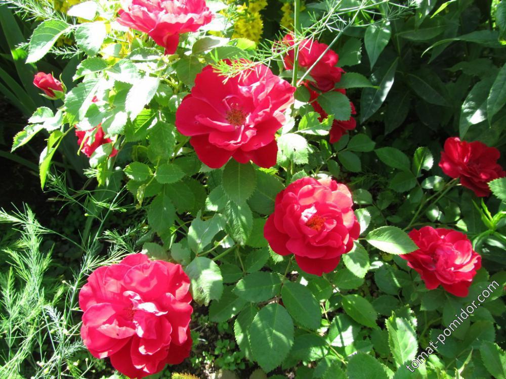 Роза от Галинки