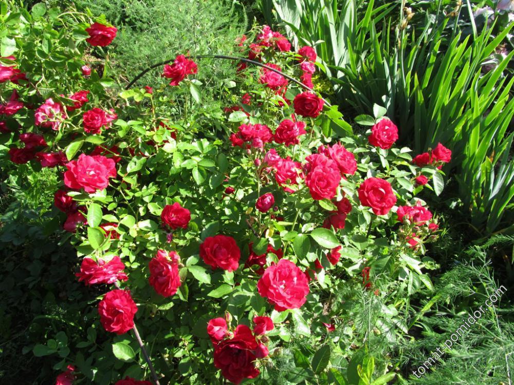 Роза от Гали64