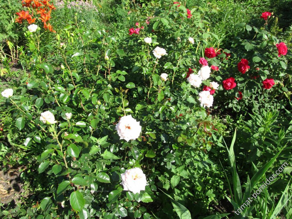 Розы покупные