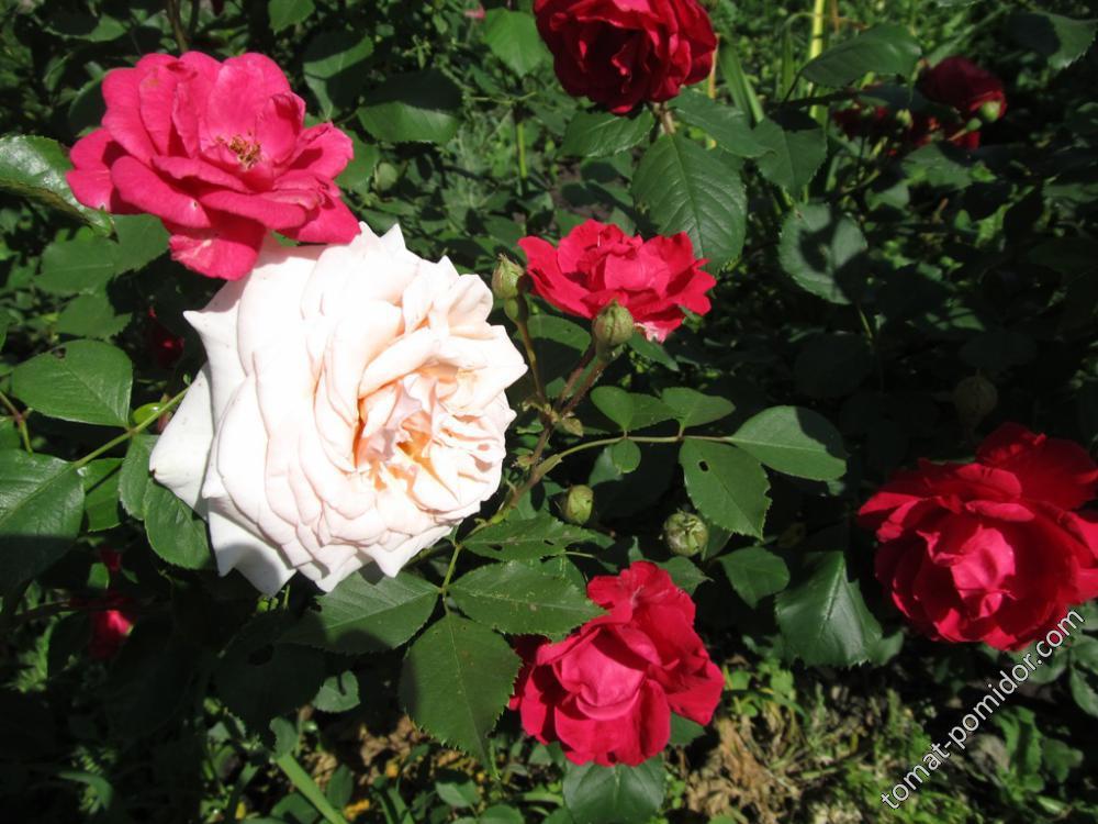 Розы покупные вблизи