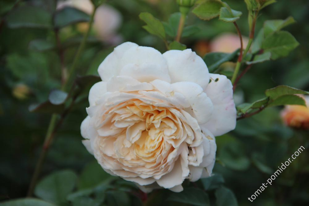 Crocus Rose (Дэвид Остин)