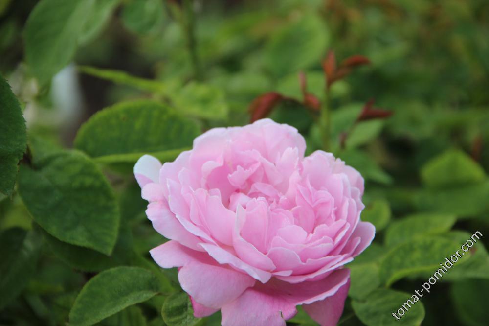 Mary Rose (Дэвид Остин)