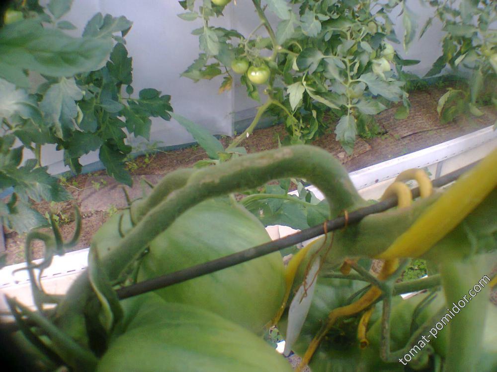 кисть опёрлась на проволоку шпалеры, плоды касаются стебля